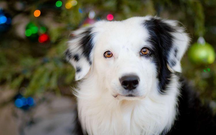 Черно-белая собака