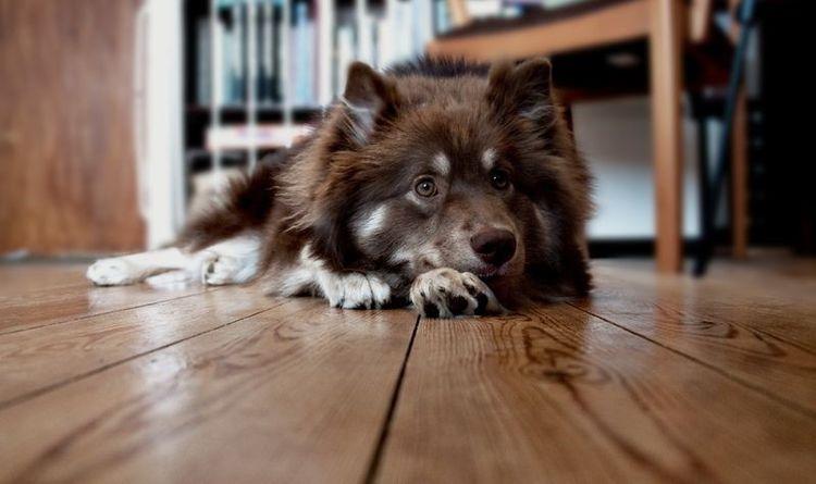 Собака подволакивает заднюю лапу