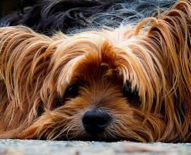 Собака стесняется после стрижки