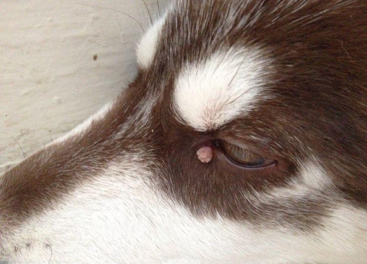 Кожный экзофитный папилломатоз у собак