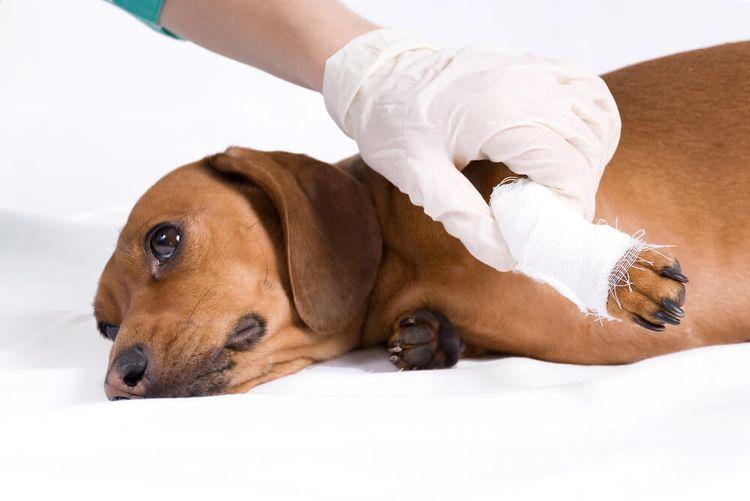 Растяжение лапы у собаки