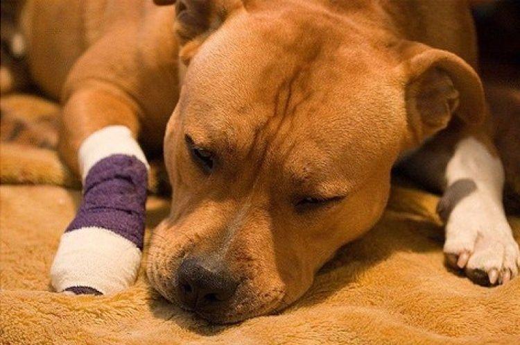 Вывих лапы у собаки