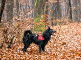 собака породы Хорватская овчарка