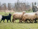 Хорватская овчарка пасет овец