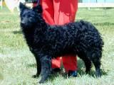 Хорватская овчарка на выставке