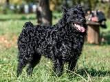 Хорватская овчарка