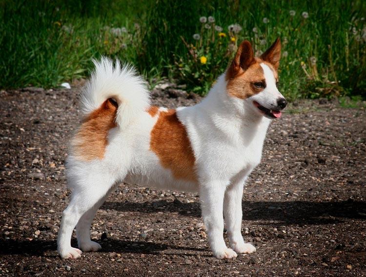 порода собак норботтен шпиц
