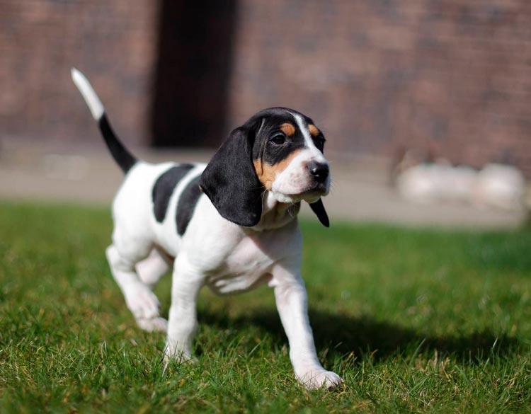 Швейцарская гончая щенок
