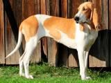 порода собак Швейцарская гончая