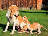 Швейцарская гончая со щенками