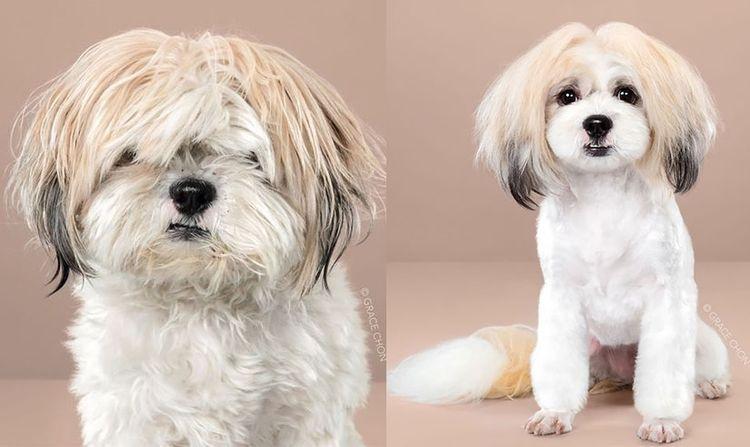 Азиатский стиль стрижки собак