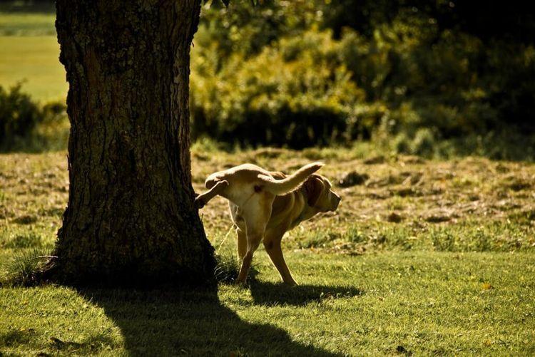 Собака писает под дерево