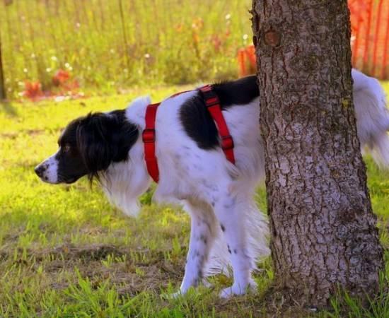 Частое мочеиспускание у собаки