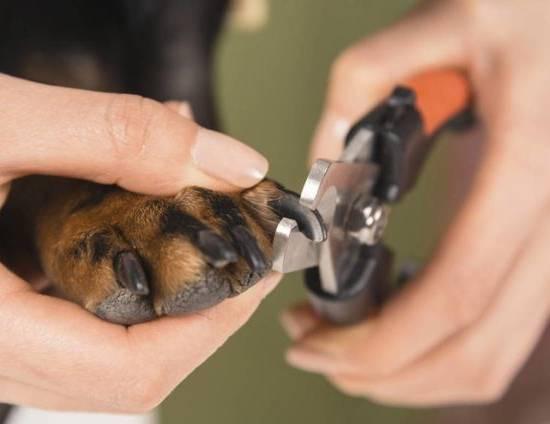 Как держать собаку при стрижке когтей