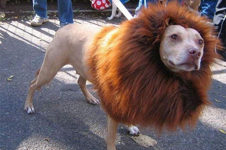 Собака подстрижена под льва