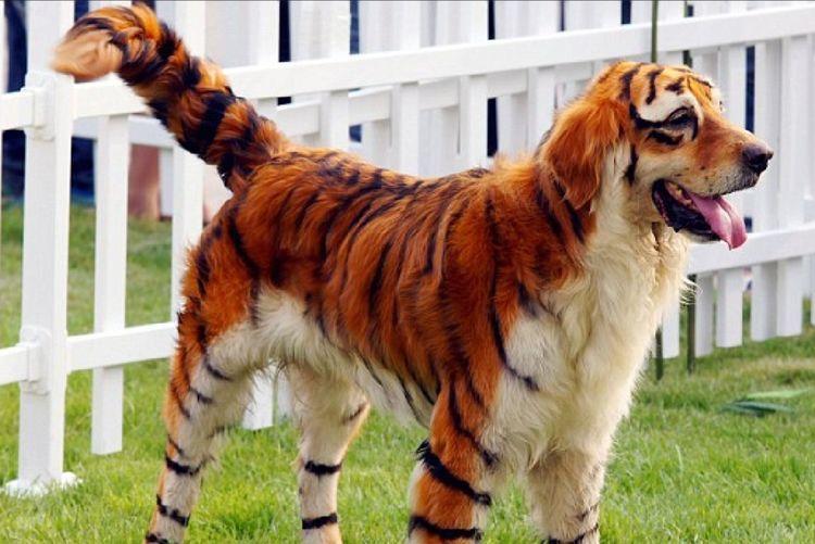 Груминг собаки под тигра