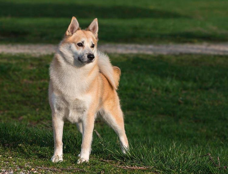 собака породы Норвежский бухунд