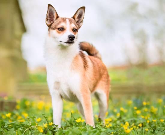 порода собак Норвежский лундехунд