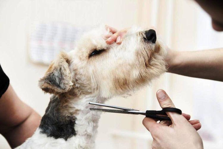 Собак стригут ножницами