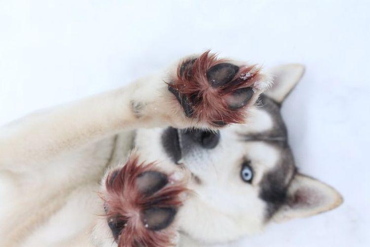Нужно ли стричь собаке между подушечками лап
