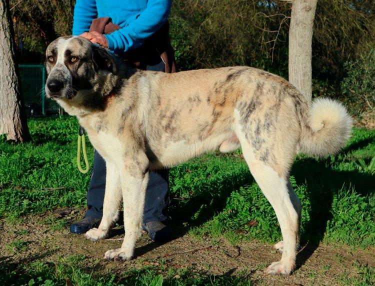 Собака породы Рафейру ду Алентежу