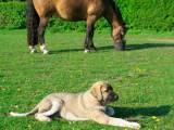 Рафейру ду Алентежу стережет лошадь