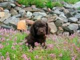 щенок Американского водяного спаниеля