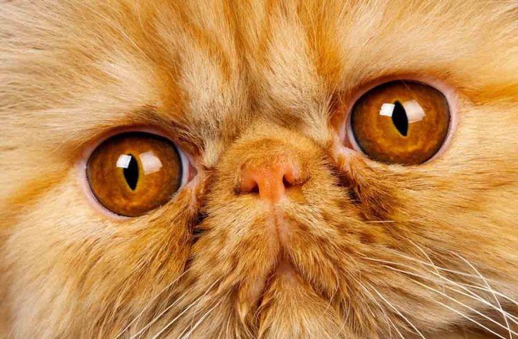 Персидский кот с желтыми глазами