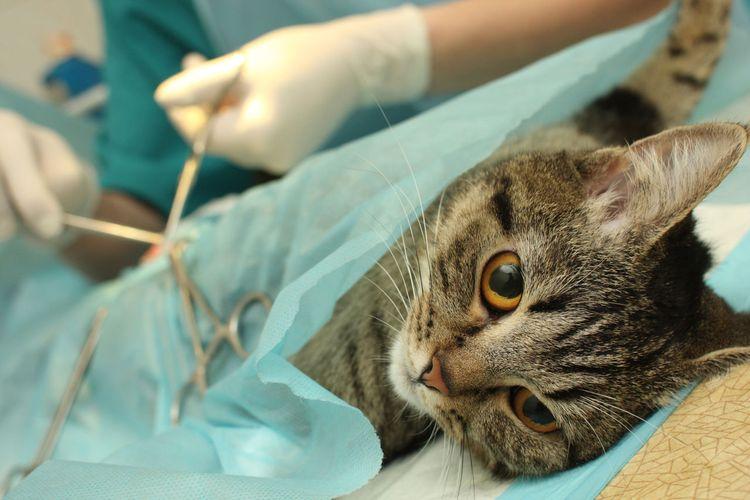 Кошку стерилизуют