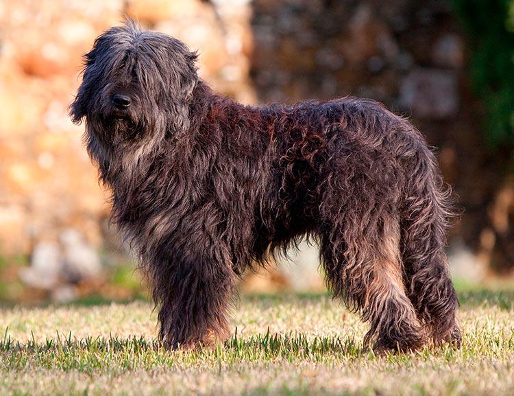 порода собак Португальская овчарка