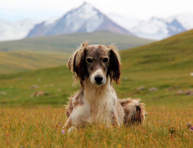 Порода собак тайган