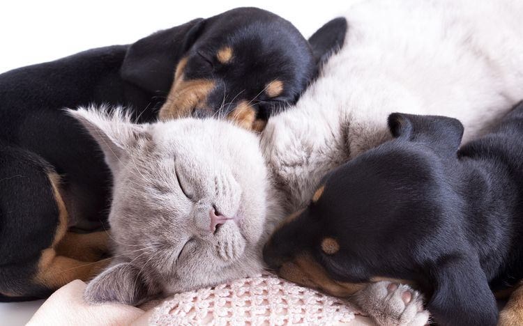 Собаки и кошка спят вместе