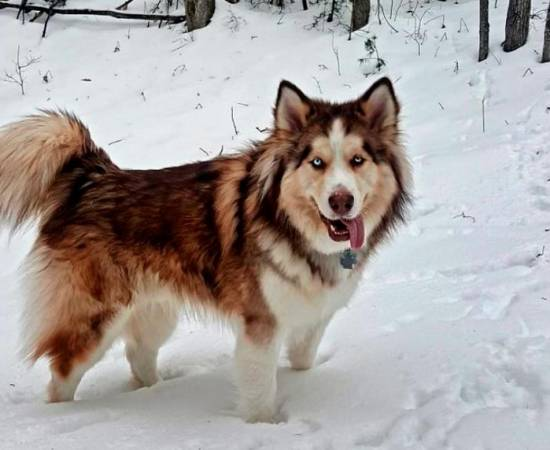 порода собак чауски