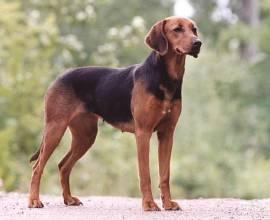 Порода собак гончая Шиллера