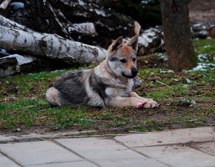 итальянский волк цена