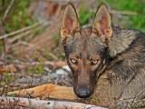 Итальянский волк фото