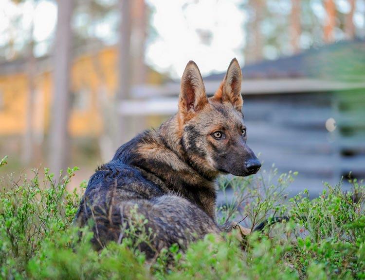 порода собак Итальянский волк