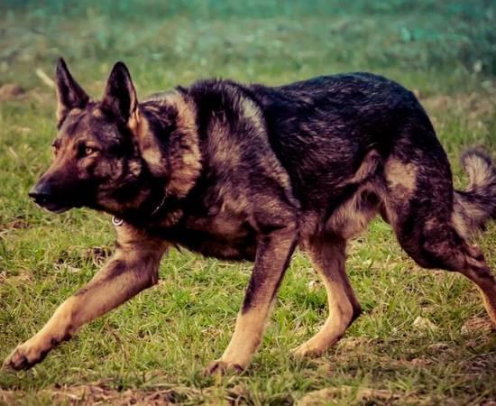 собака породы Итальянский волк