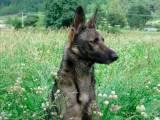 итальянский волк в поле