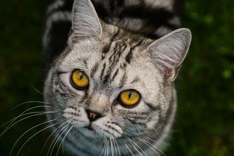 Серый кот с желтыми глазами