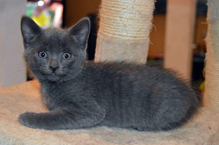 Серый котик у когтеточки