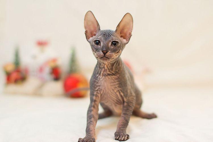 Серый котенок сфинкс