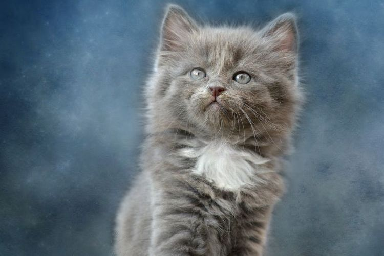 Серый котенок с белой грудкой