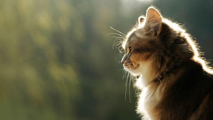 Кот в ошейнике с ферромонами