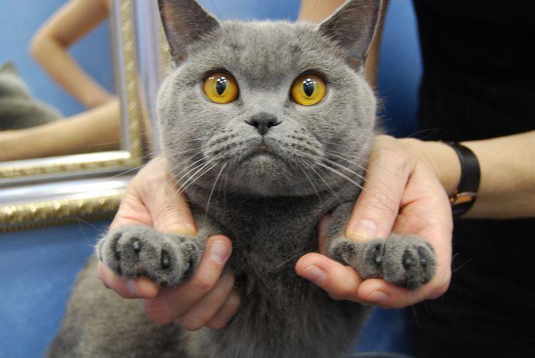 Британский кот с желтыми глазами