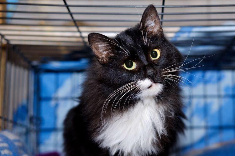 Черный кот с белой грудью