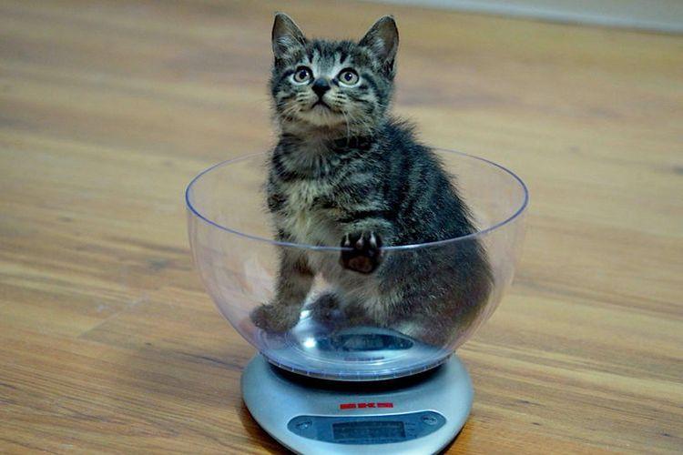Котенок на кухонных весах