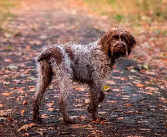 Собака породы гриффон Кортальса