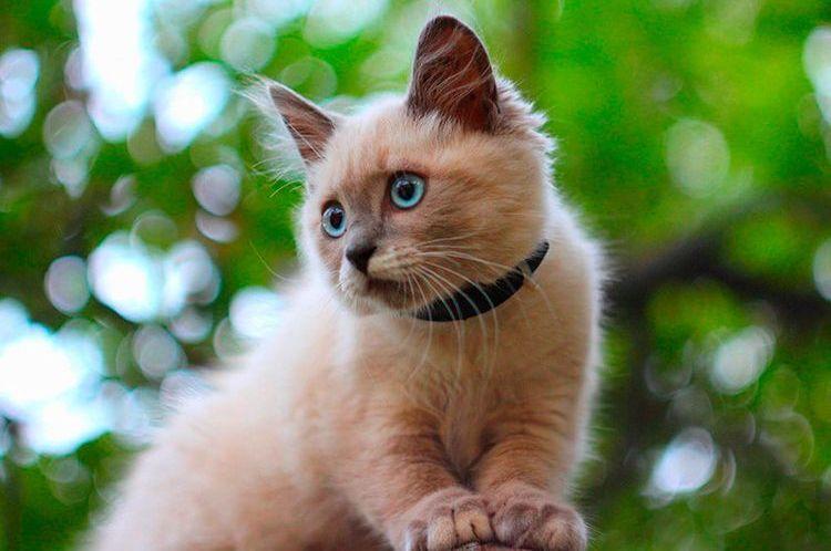 Котенок носит ошейник Беафар