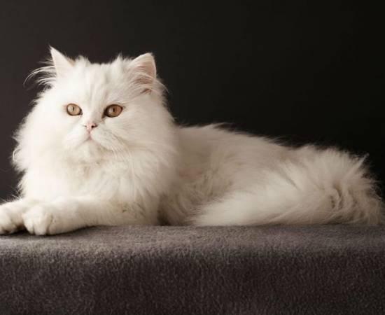 Белая длинношерстная кошка